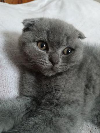 Віслоухий лагідний котик