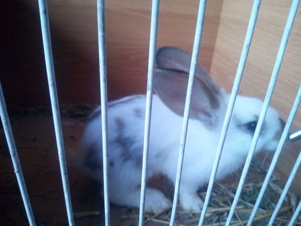 Królik , króliki OKAZJA