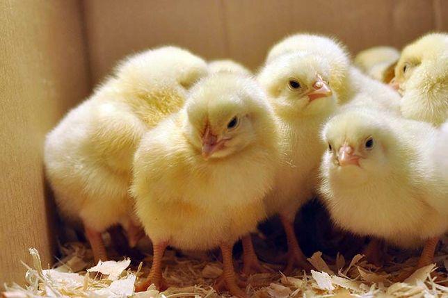 Цыплята бройлера росс и кобб