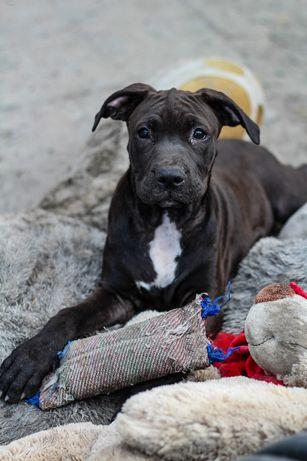 American Pit Bull Terrier pitbull APBT suczka