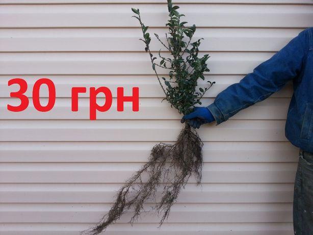 Бирючина куст 30 грн на 5-7 веток высота 60-70 см 4 года ПИТОМНИК !!!