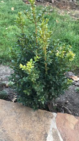 Самшит, саженцы, кустарник 40-50 см