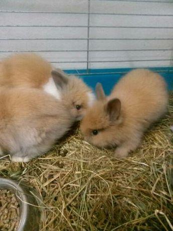WYPRZEDAŻ królików miniaturowych do hodowli