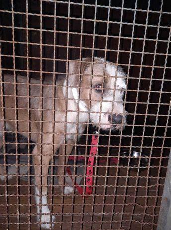 Młody psiak w typie terriera znaleziony w Spalicach. Czyja zguba