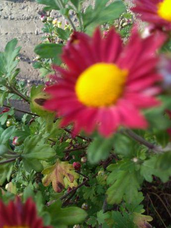 Хризантема червона