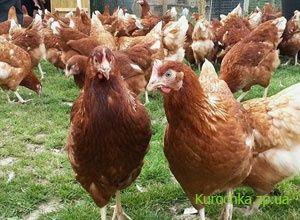 """Кури породи Ломан Браун"""" 5 мес."""
