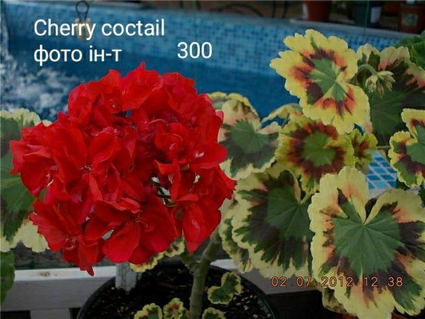 Cherry coctail пеларгонія