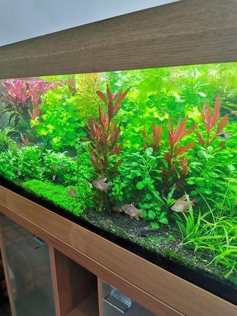 Roślinki do akwarium roślinki akwariowe pilny odbiór