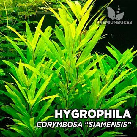 "Vaso - Hygrophila Corymbosa ""Siamensis"""