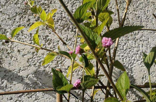 """Lippia alba """"erva cidreira do brasil"""" de vários tamanhos"""