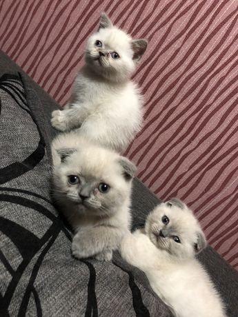Котята Вислоушки