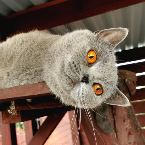 Kot Brytyjski mamy kocięta