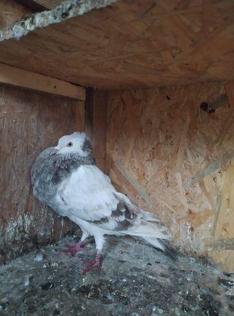 Gołąb, gołębie ozdobne. Stawak Polski