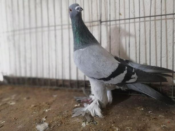 Gołębie Bocian bociany 3 samce