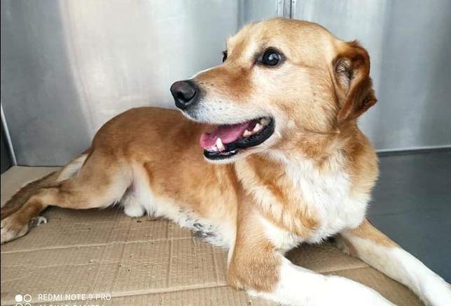Adolfo- cachorro de porte médio para adoção