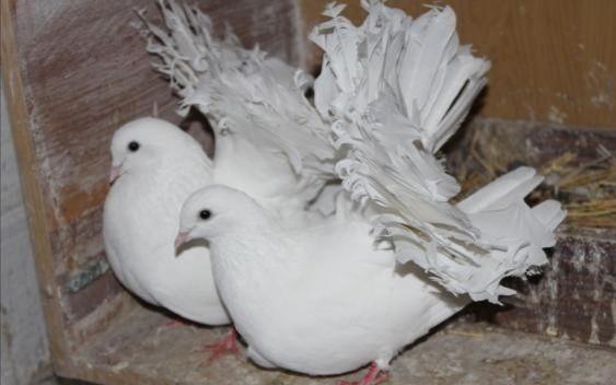 Продаю Пару Білих павичів з 20 року кольцьовані. Є ще дві пари Червони