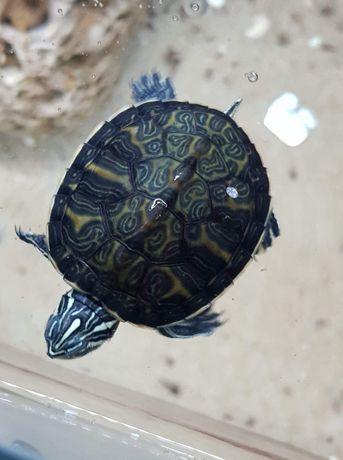 Pseudemys sp żółw wodno-lądowy