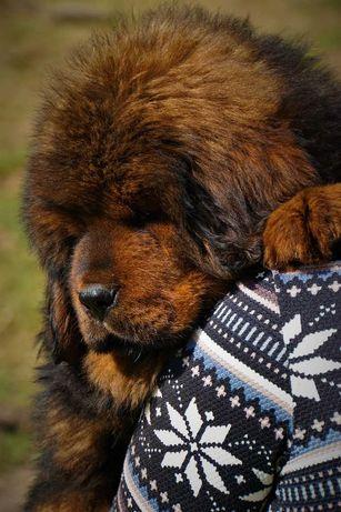 mastif tybetański ZkwP  ostatnie 2 suczki