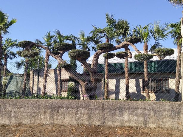 Oliveiras jardim bonsai pratos