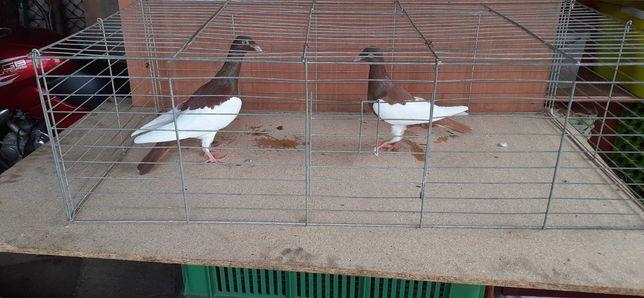Gołębie - sprzedaż
