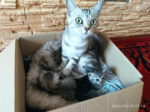 Котята мама скотиш страйт ищут дом