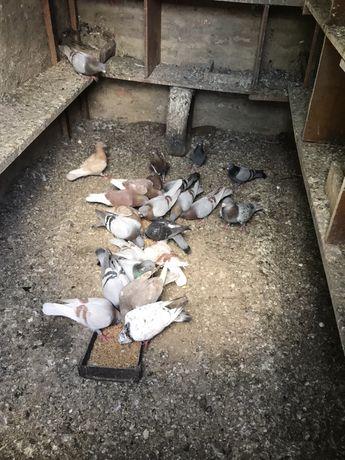 Продам голубей Чехов