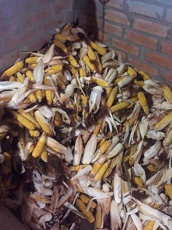 Кукуруза кукурудза в качанах