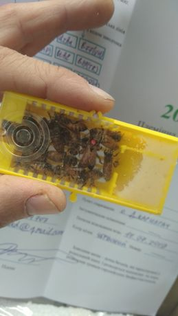 Матки. Продам неплідних бджоло маток Buckfast