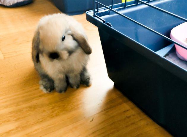 Królik króliczek króliczki Mini lop miniaturka