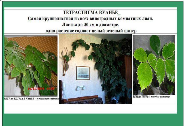 Тетрастигма Монстеры Сцендапсус драцены Комнатные растения цветы саж
