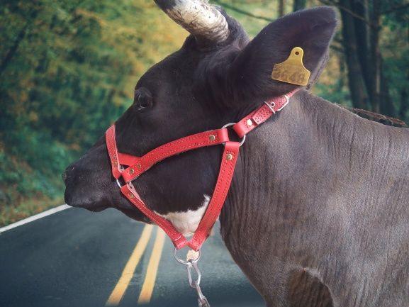на морду недоуздок упряж корові бику абердин джерсі