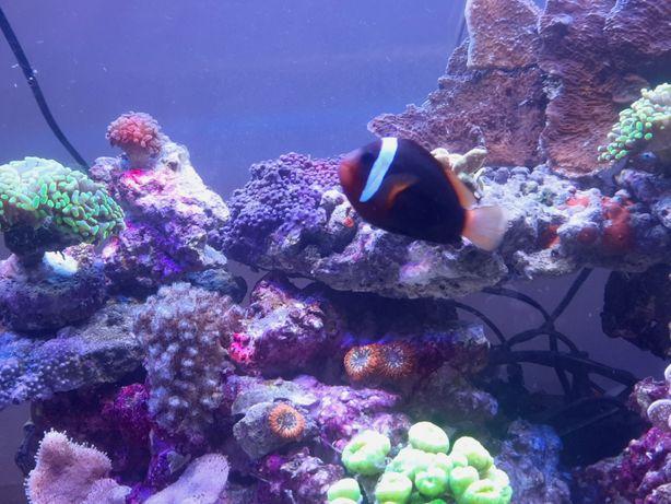 Blazenek akwarium morskie