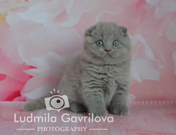 Шотландские котята - очаровательные мурчалочки.