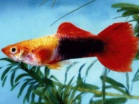 Gupik Golden red tuxedo elblag