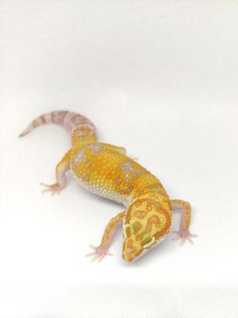 Gekon lamparci Tangerine Tremper Albino duża SAMICA 50g
