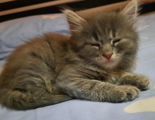 Котик хлопчик 1.5 міс