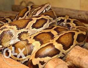 Грациозные змеи для пафосных заведений