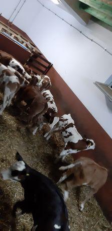 Byki i jałówki opas mięsne