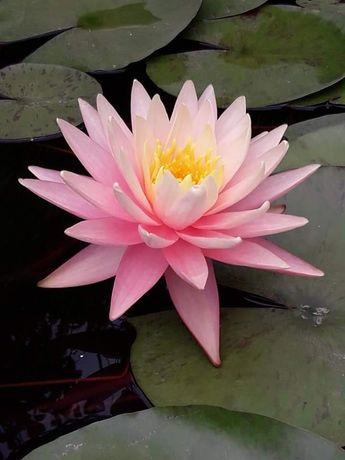 Нимфея,водяная лилия 'Pink Grapefruit'