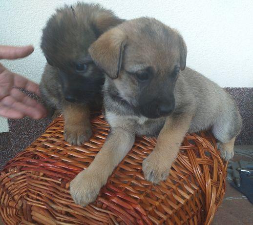 Віддам собачок в турботливі руки