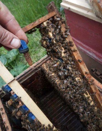 Тройзек (Карника) Пчелиные матки. Необходимость с матке?