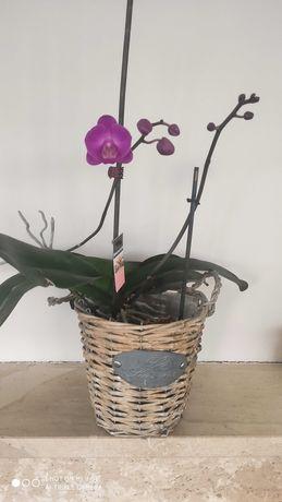 Storczyk dwupędowy fioletowy