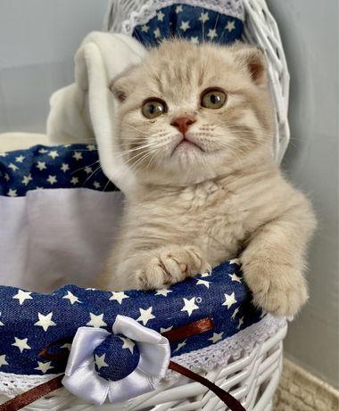 Шотландский плюшевый котик Тедди
