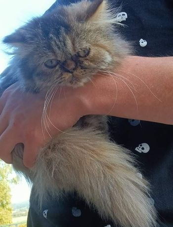 Kot Pers Perski kotka szylkretowa