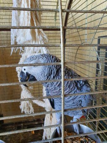 Умный попугай продам