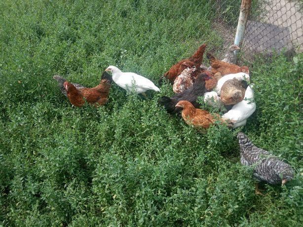 Молоді кури, Курчата від 8 тиж / курочки циплята  подросшие