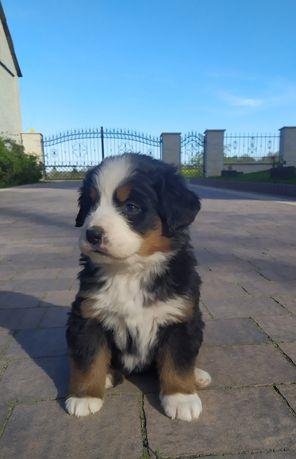 Berneński Pies Pasterski szczeniaczki ODBIÓR 22 MAJ