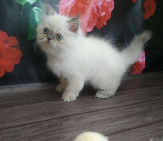 Персидская малышка блюпоинт