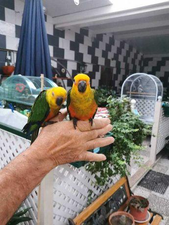 Vende se aratingas jandaias criadas a mão e outras aves