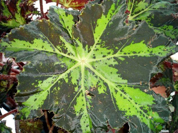 бегония борщевиколистная (begonia heracleifolia)
